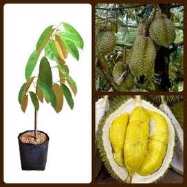 jual Bibit Durian Monthong Okulasi Durian Montong Bibit Duren