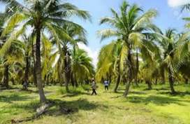 300 Coconut tree farm for sale