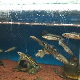 Ikan Hias Predator Channa Asiatica WS, RS, RSWS