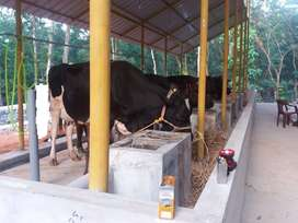 Well Running Diary Farm for Sale at Thodupuzha