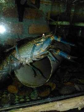 Lobster beserta perangkat akuariumnya