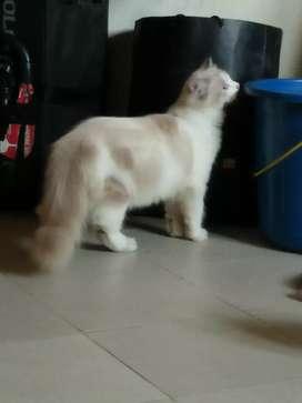 Jual kucing persia mancone