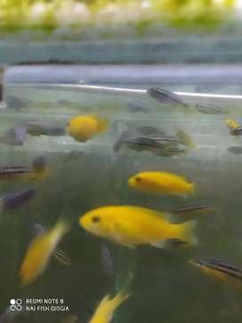 Ikan lemon chiclid