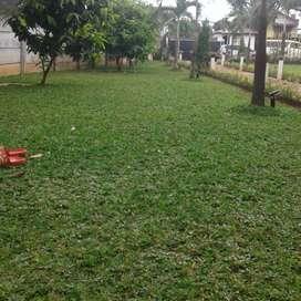 Jual rumput gajah mini