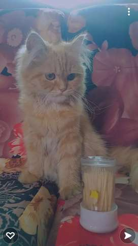 Persian Cat, home breed ,triple coated