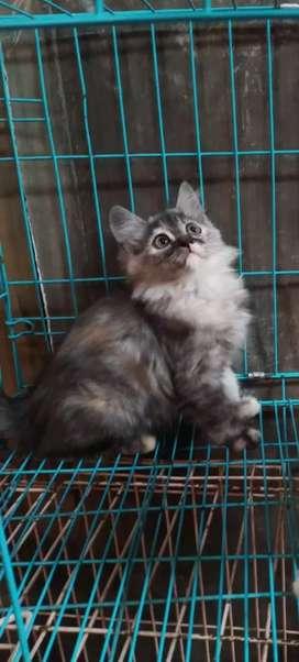 Kucing persia kitten umur 3 bulan jenis kelamin betina