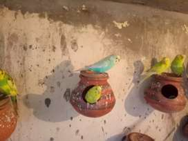 Budgies fellow spangal Australian pied  call me 0331,6973714