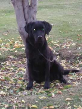 Labrador female 11 months fully active and trained