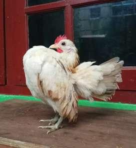 Ayam Serama betina prospeck.di Jakarta.diap krm2