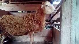 Jual kambing biri...2 jantan