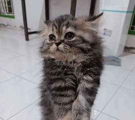 Kucing Persia Flatnose warna black tabby udah obat cacing