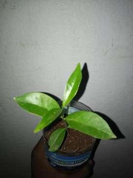 நாவல் பழம் செடி/black jamun sapling