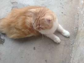 Kucing persia orange laki laki
