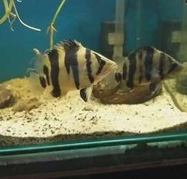 Ikan Datz Borneo 2ekor