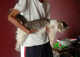 Kucing maine coon mix