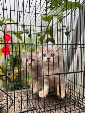 Kitten Anak Kucing Persia Mix 2 Bulan