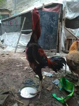 Sepasang Ayam Bangkok X Saigon