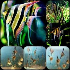 ikan Manfish altum peruvian untuk aquarium dan aquascape