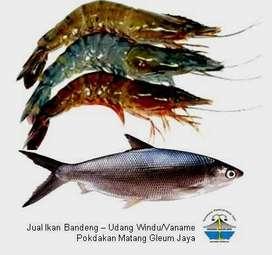 Jual Ikan Bandeng, Udang Windu/Vanamei