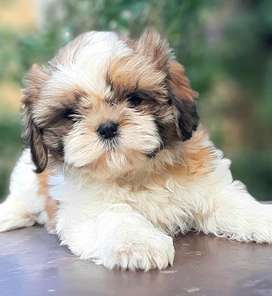 Adorable cottonball show lines shihtzu puppies finest quality in town