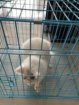 Lepas adopt kucing persian jantan