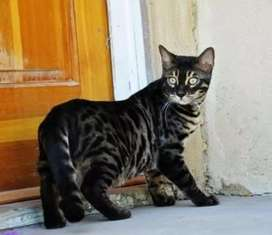 Bengal cat available male fci registred