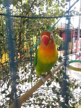 Lovebird super gacor durasi birahi