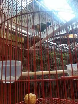 Jual Burung peliharaan