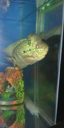 Ikan louhan kamfa sudah jenong ukuran 18cm