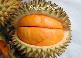 Bibit Buah Durian Elai atau Lai Asli Kalimantan Asli