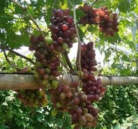 Bibit pohon anggur merah buah besar dan manis