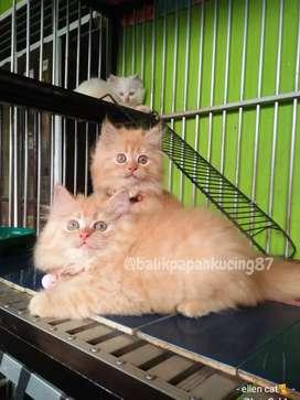 Kitten persia betina wrn oren / garfield,  cantik & gembul