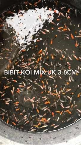 Bibit koi mix uk 3-6cm