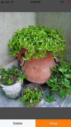 Turtle vine 3 inch pot available