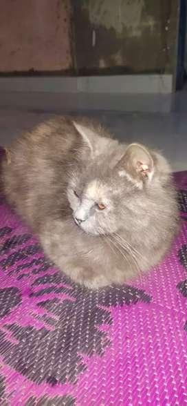 Parsian cat yellow eyes