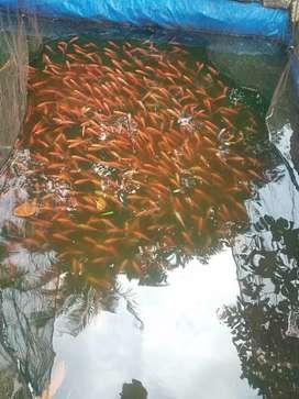 Sedia bibit ikan nila merah bangkok