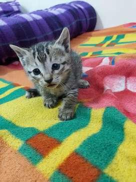 A month old playfull kitten