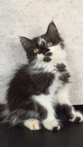 Lorde - Kucing Persia 2,5 Bulan Betina