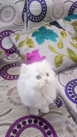 Rare Persian kitten for sale