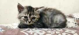 Kucing Kitten Persia - Himalaya