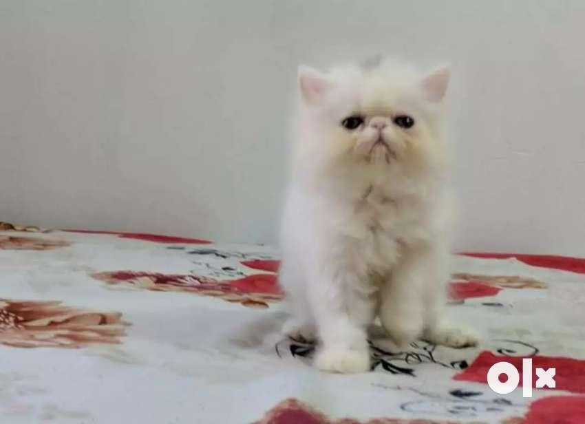Persian cat kitten for sale 0