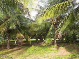 2 Acres and 40 cents coconut farm for the total Rs.35,00,000.