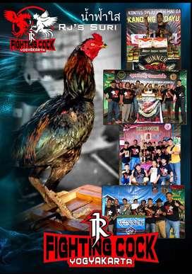 Ayam Bangkok di kota mojokerto