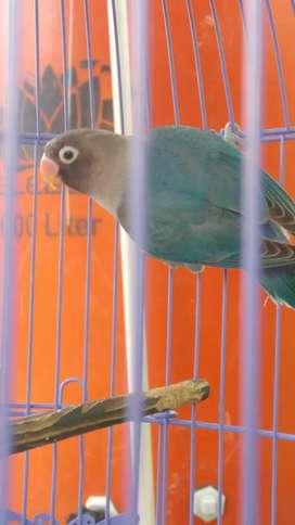 Lovebird paud trah kekean fighter