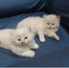 All types kittens avialble active and cute