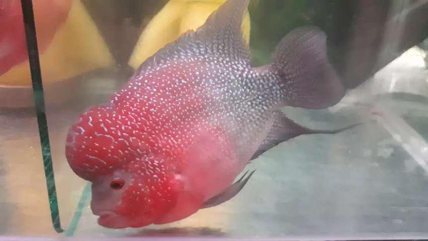 Ikan Louhan kamfa 0