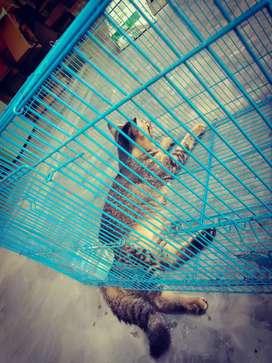 di jual kucing persia blasteran kucing anggora