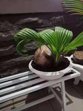 Bonsai kelapa cantik lucu buat menghias halaman rumah