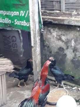 Ayam bangkok mantab kualitasnya produk siap borong