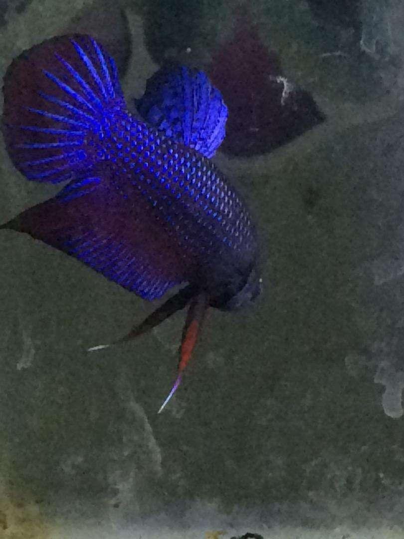 Ikan cupang mahachay cross splendens sumatra 0